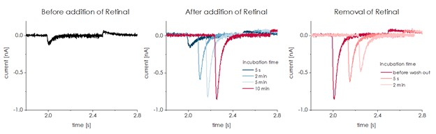 ChR2 Stability of Retinal binding Figure1